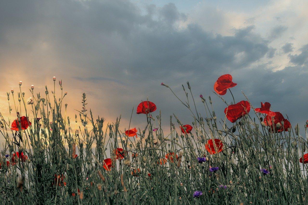 poppy, klatschmohn, blossom