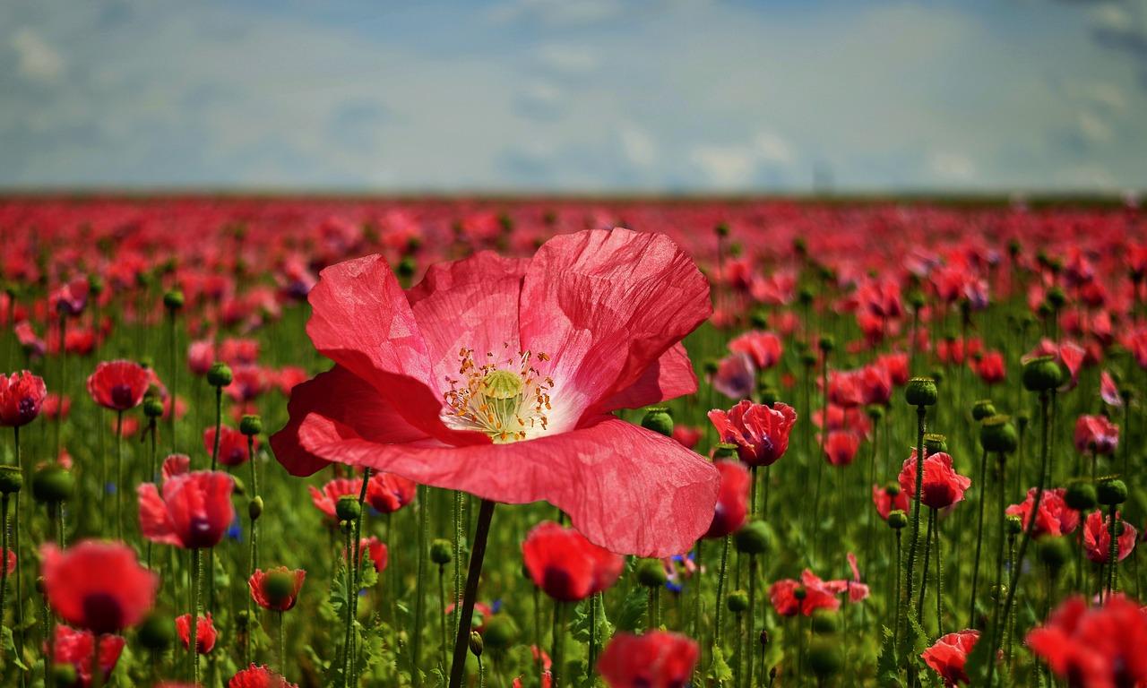 poppy, poppy flower, poppy field