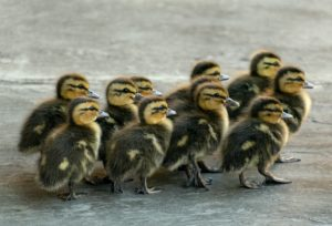 duckling, animal, young