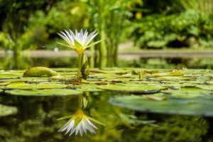 water lily, flower, bloom