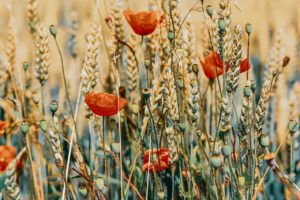 poppy, cereals, summer