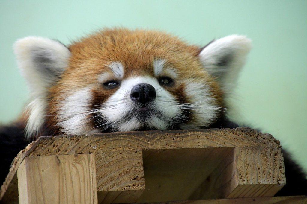 red panda, bear, animal